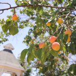 Apricot season at Hearty Health