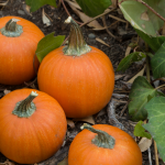 Growing pumpkins from seed
