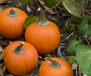 Growing pumpkins from seed